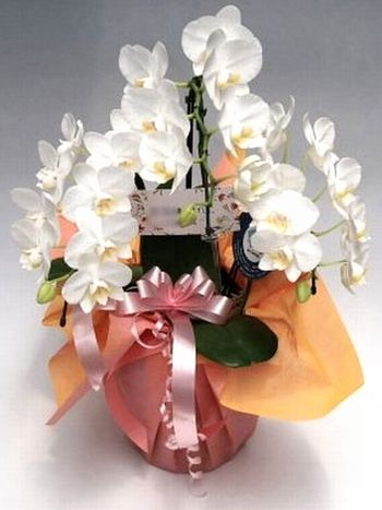 母の日胡蝶蘭ミディアマビリス3本